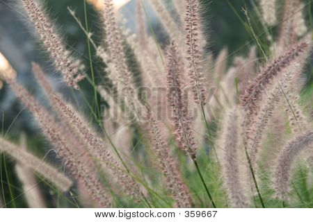 A Field Of Fountain Grass