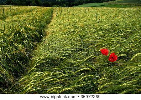 Two poppy flowers in green field