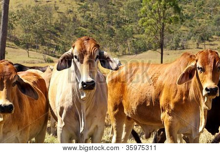 Australian Beef - Cattle Country