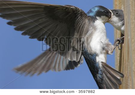 Hungry Baby Tree Swallow