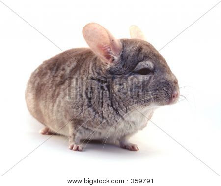 Chinchilla Closeup