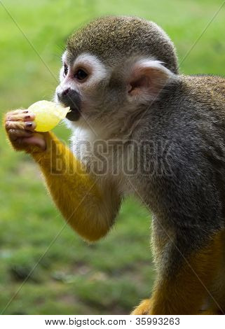 hungry squirrel monkey