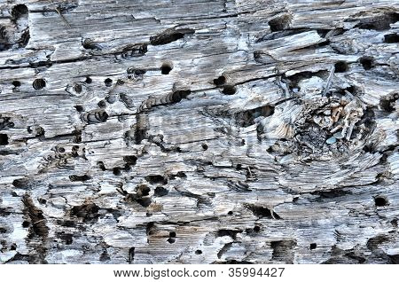 Driftwood With Worm Holes.