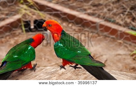 Australian King Parrot Alisterus scapularis red headed bird