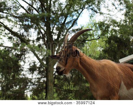 Goat Against Trees