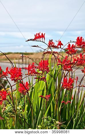 Red Flowers Crocosmia Lucifer Montbretia Plant