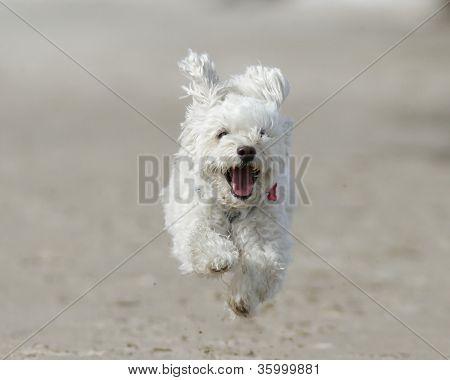 Cão branco pequeno correndo na praia