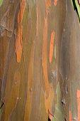 Eucalyptus Bark 4 poster