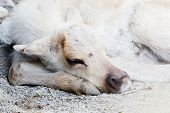 stock photo of caribou  - Closeup of a young sleeping caribou with shallow depth of field - JPG