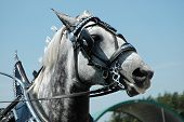 foto of blinders  - Grey spotted horse with blinders and harness on - JPG