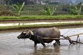 pic of female buffalo  - Buffalo in the rice field Indonesia Bali - JPG