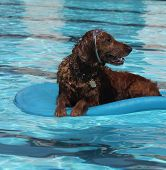 image of floaties  - Dog on a floaty in a pool with goggles on his forehead - JPG