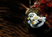 picture of flatworm  - Diana - JPG