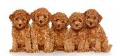 image of poodle  - Group of Toy Poodle puppies on a white background - JPG