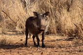 picture of bosveld  - Alert Warthog Male in Clearing Between Bushveld Trees - JPG