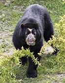 A Spectacled Bear In The Cloud Forest