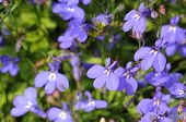 stock photo of lobelia  - Many blue flowers as a background  - JPG