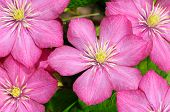 Small Group Of Beautiful Flowers (clematis)