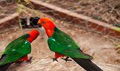 Australian King Parrot Alisterus scapularis red headed bird