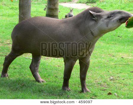 Tapir06