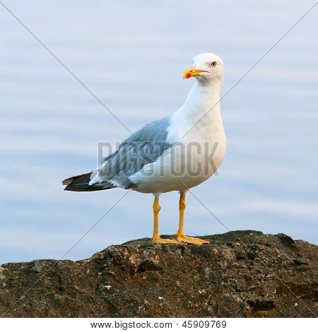 Seagull standing on a rock by the sea