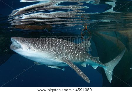 Whale Shark Feeding At Surface