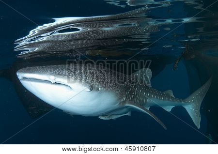 Whale Shark At Surface By Raft