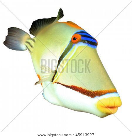 Beautiful colorful tropical fish isolated on white: Picassofish