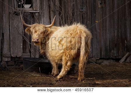 Red Highland Cow In Barn Yard