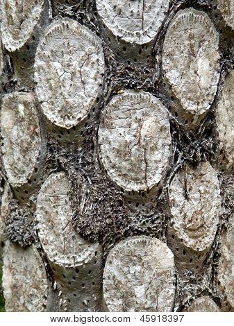 Silver Fern Tree