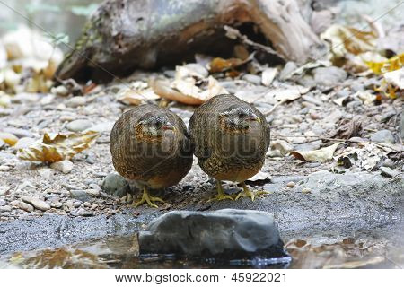 Green-legged Partridge Scaly-breasted partridge Arborophila chloropus