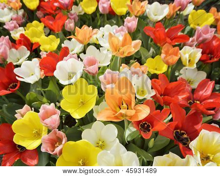 Colorful Tulip Flowers On A Field