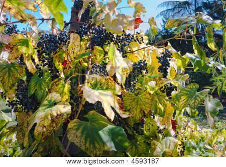 Grapes Ready For Harvest, Umbria, Italy