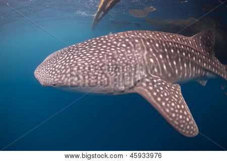 Whale Shark Close-up At Bagan