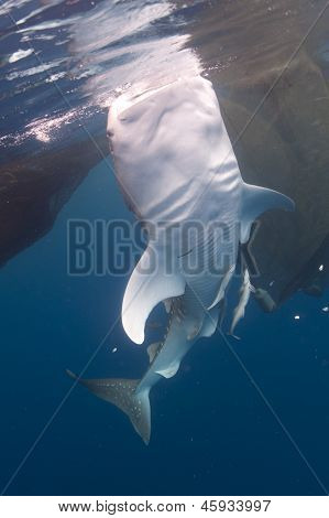 Whale Shark Underside At Surface
