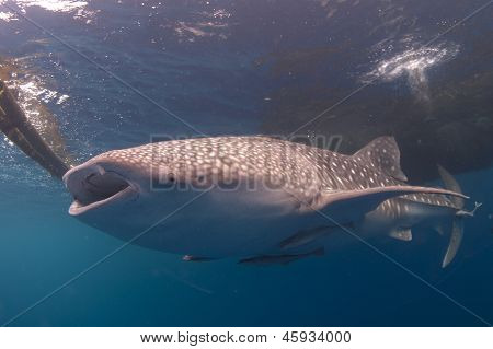 Whale Shark Feeding At Surface Near Bagan