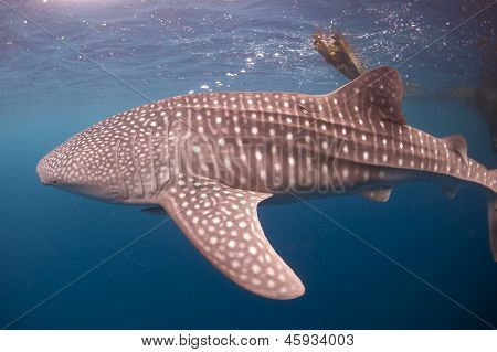 Whale Shark Blowing Bubbles At Surface