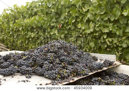 Bunches Of Grapes On A Sorting Table