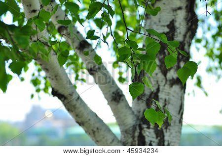 Russian  birch