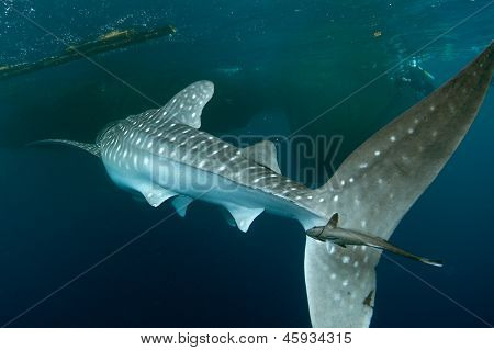 Whale Shark With Remora On Tail