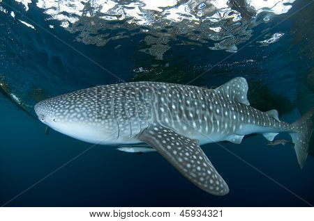 Whale Shark Close To Surface