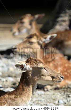 Deer Fallow Heads