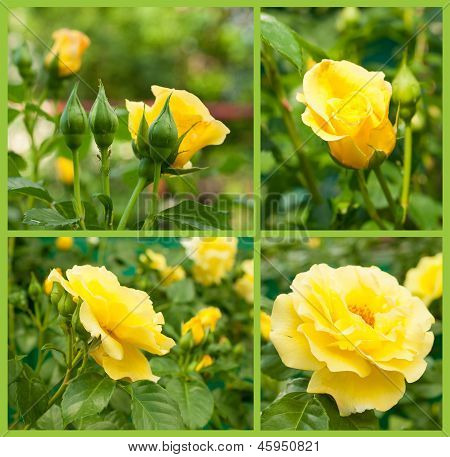 Set Of Yellow Roses