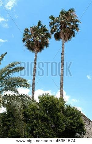 Tropical Tall Palm Trees