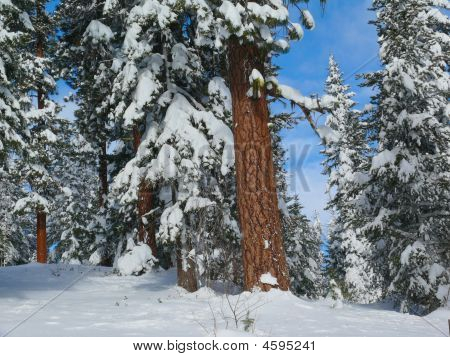 Ponderosa Pine Deep In Snow Winter Day