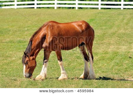 Young Clydesdale Horse On A Pasture