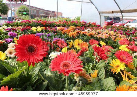 Gorgeous ruffle gerbera daisies
