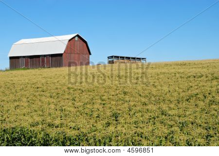 Barn Surrounded By Corn Field
