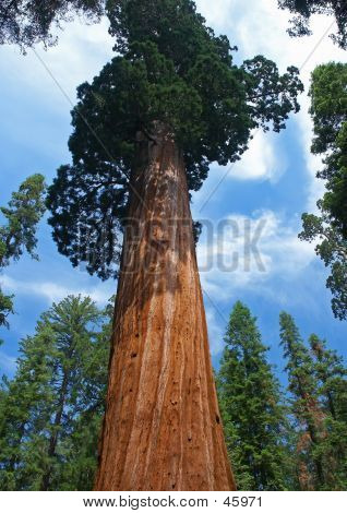 Towering Sequoia