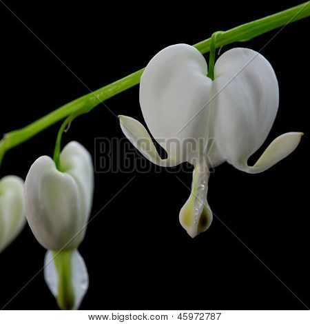 Weiß Bleeding hearts